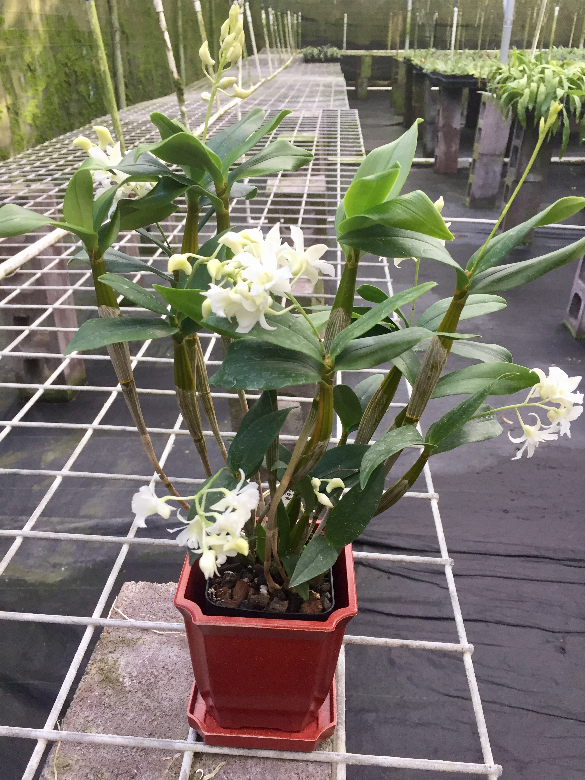 Buy live orchids from hawaii kalapana tropicals wholesale retail dendrobium mini snowflake with red eco pot retail only izmirmasajfo