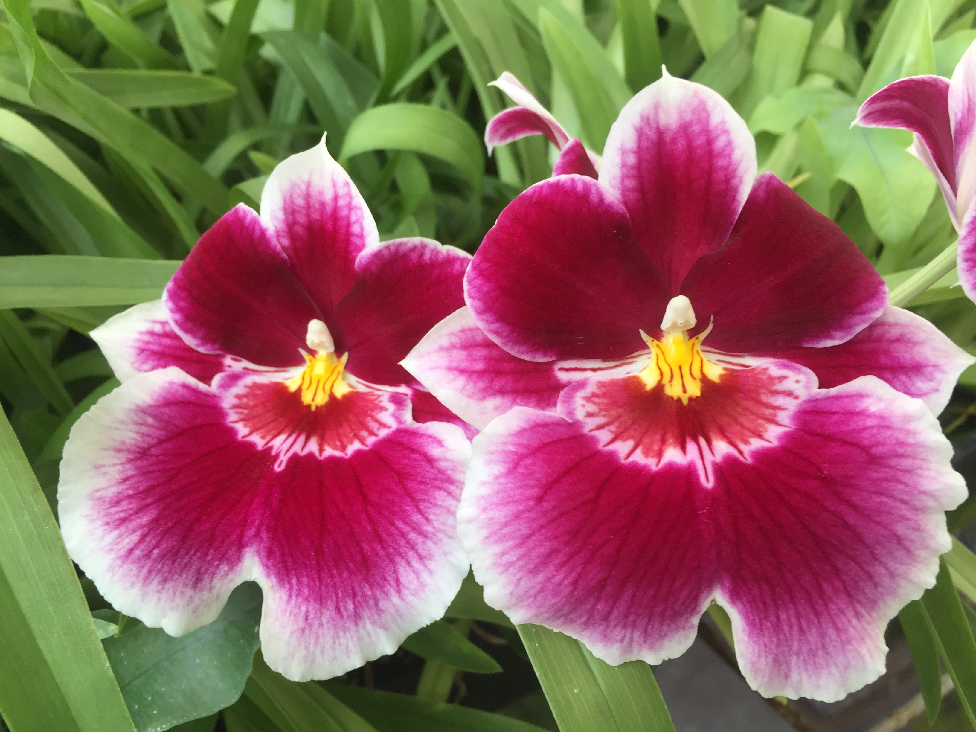 Live Orchids From Hawaii Kalapana